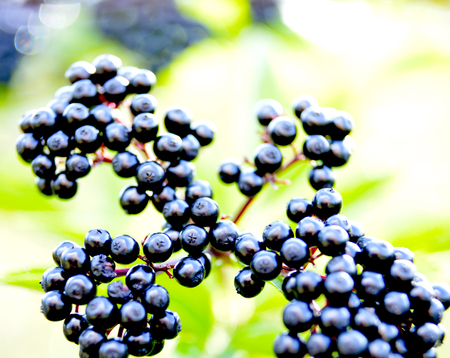 elderberry fruits in nature, close up view,morning shot, shallow dof,image