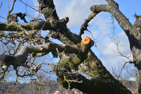 fresh pruned old apple tree in an orchard, image of a