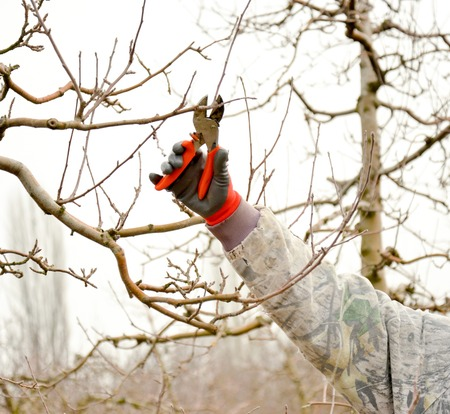 Pruning a apple tree with garden secateurs in winter,image of a