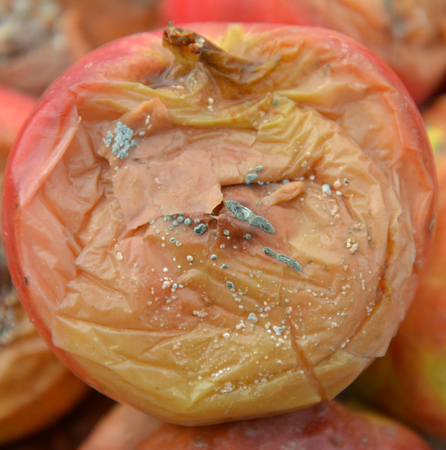 Image of a rotten disgusting apple, many apple.