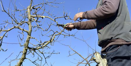 unrecognizable man pruning apple trees in an orchard in march,image