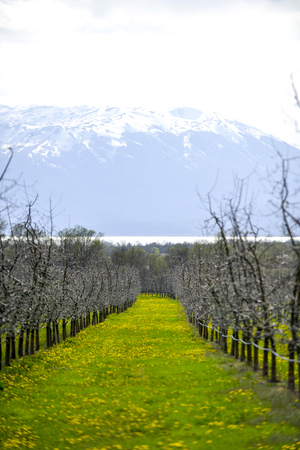 picture of a landscape of an apple orchard before blossoming, april,macedonia
