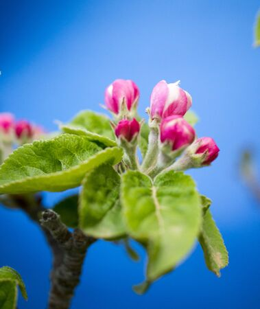 picture of a pink apple blossoms in april
