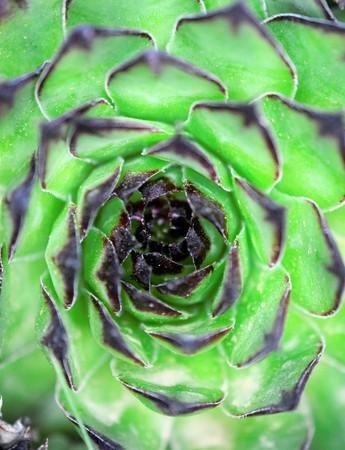 house leek, succulent plant, semper vivum, image of a