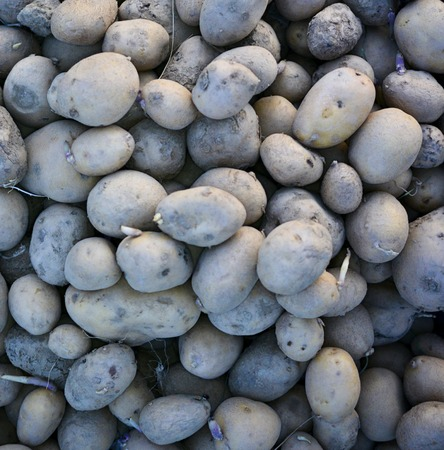 Compost Pile of Rotting Potatoes, close up with details Stock Photo