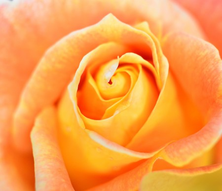 rose flower, love and beauty theme Stock Photo