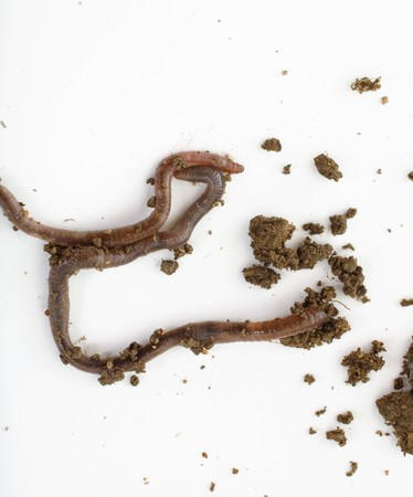studio shot of an earthworm,image of a