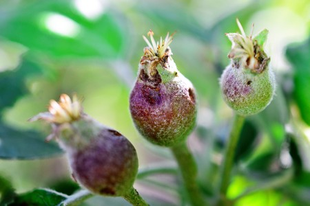 young ripening apple fruit damaged by heavy hail.climate change concept