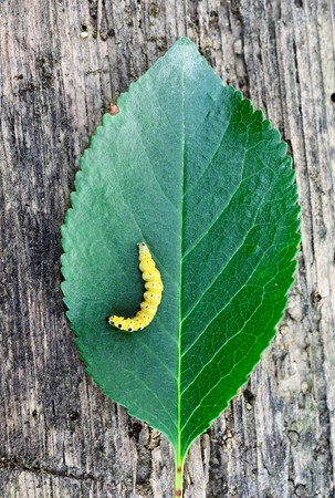 yellow black caterpillar on a sour cherry leaf on old wood background, top view image