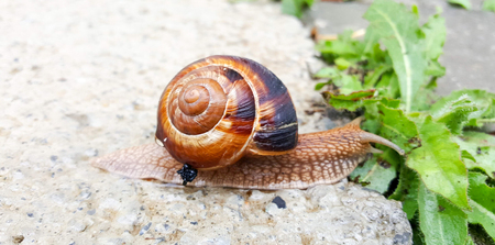 garden snail eating green plant,image of a Stock Photo