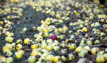 fallen ripe apples in an orchard 版權商用圖片