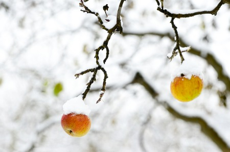 apples covered with snow