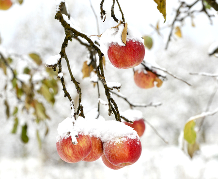 overripe apples covered with snow, image of a