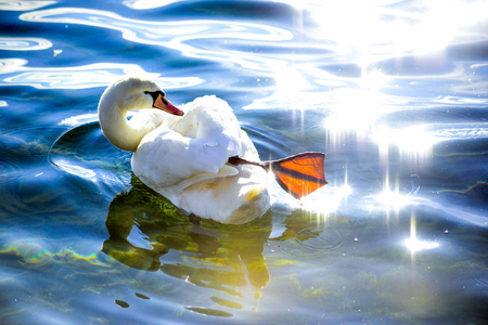 swan in a water on a sunny day, image of a Stock Photo - 116370063