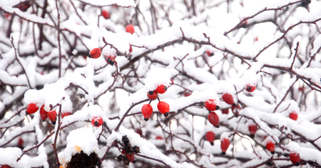 rose hips in nature, covered with ice, image Banque d'images