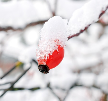 rose hips in nature, covered with ice, image Standard-Bild