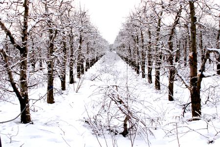 apple orchard under the snow, winter landscape