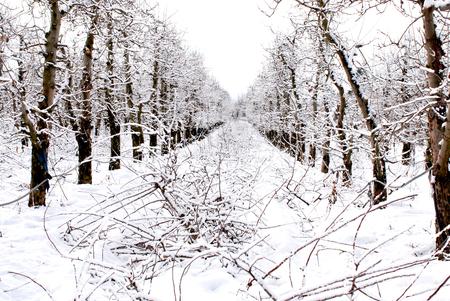 apple orchard under the snow, winter landscapei mage Archivio Fotografico