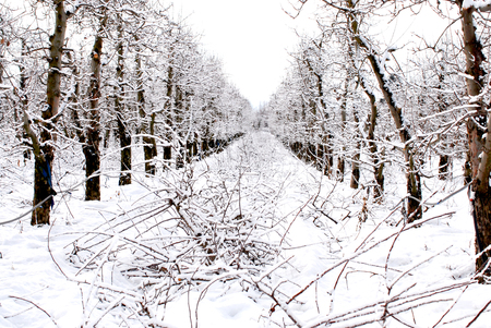 apple orchard under the snow, winter landscapei mage 版權商用圖片
