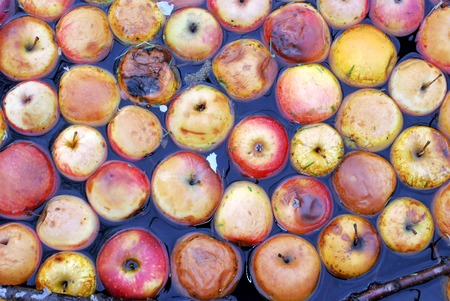 rotten apples in a creek water, pollution of environment, image