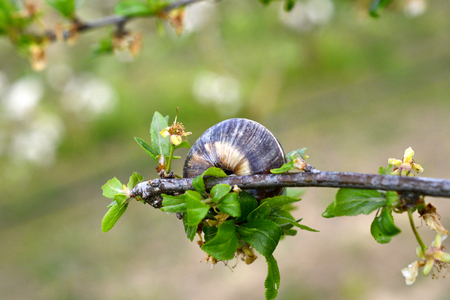 Snail shell on the tree in the garden. image of a a Stock Photo