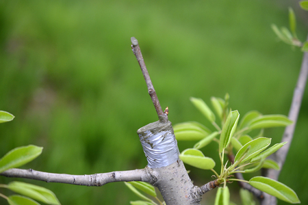 Grafting fruit tree , grafted place by grafting tape image Reklamní fotografie