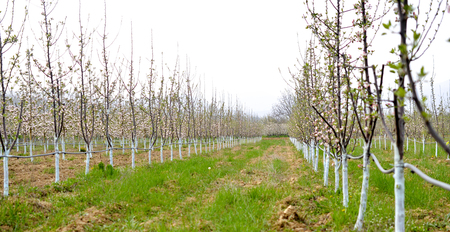 young blossoming trees in april treated with Bordeaux mixture to combat mildew. Bordeaux mixture is allowed in organic agriculture and protects against blight and other diseases in plants.