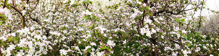 panorama of flowering apple orchard in spring, image