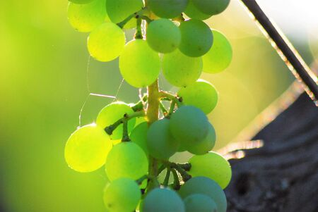 Single bunch of grapes on vine against the sun
