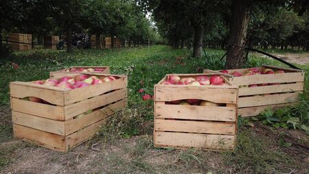 fresh harvested apples in a wooden crates in an orchard image