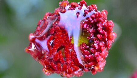 waterdrops on a Chrysanthemum flower, macro image