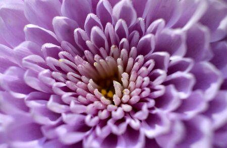 Chrysanthemum puple flower macro image Stock Photo