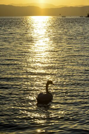 swan in a lake ohrid in macedonia,sunset time