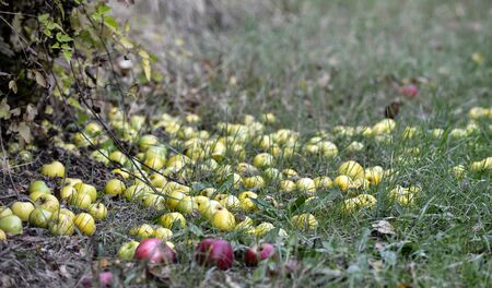 fallen apples in an orchard in autumn image Stok Fotoğraf - 133814116