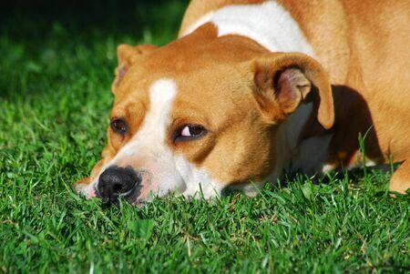 American Staffordshire Terrier, laying on grass Standard-Bild
