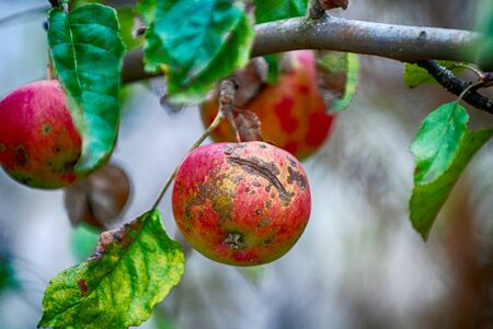 Necrotic spotting and cracking caused apple scab, Venturia inaequalis on a ripe apple on the tree image