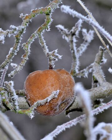 morning frost on a rotten apple on a tree in january
