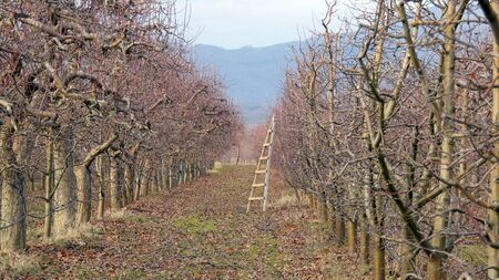 pruned apple orchard in winter image Stok Fotoğraf