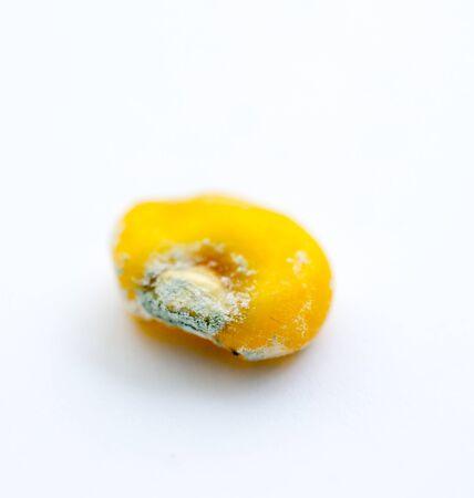 fungi decay on a corn seeds close up shot, shallow dof Zdjęcie Seryjne - 143119289