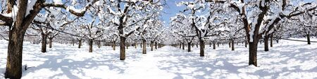 apple orchard covered with snow, Stock Photo