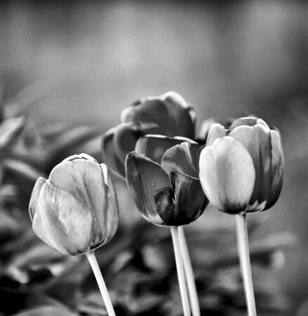 monochrome image of a tulips in a backyard garden.