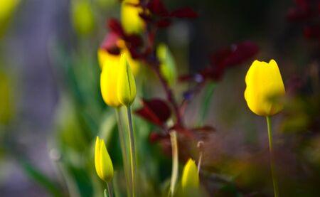 yellow tulips in a backyard garden shallow dof Фото со стока