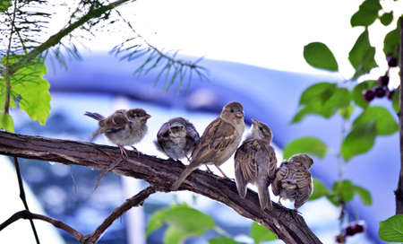 House Sparrows ( Passer domesticus ) bird in nature