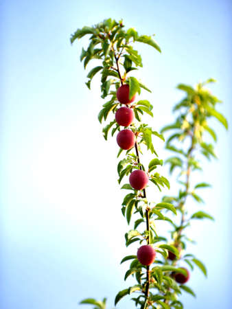 Ripe organic Red Plums on branch in summer