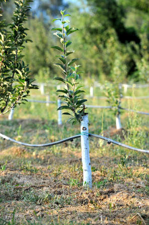 Apple orchard with grafted trees protected with bordeaux mixture.