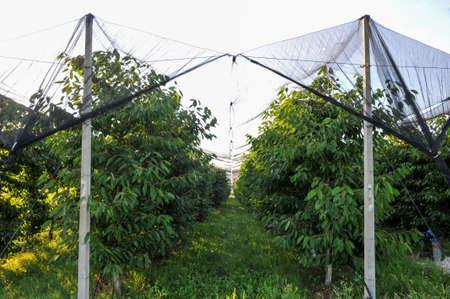 An apple orchard covered an against hail and birds. Modern apple plantation .