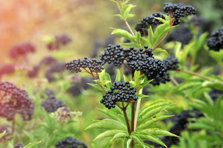 Forest black elderberry, shrub with berries image