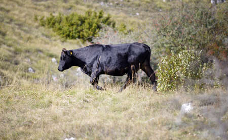 Cows in nature image . domestic animals theme.