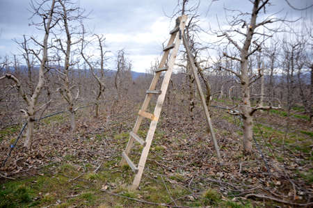 ladder at a fresh pruned apple orchard/