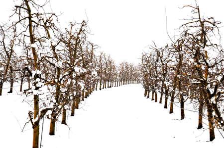 apple orchard covered with snow , winter season image Standard-Bild
